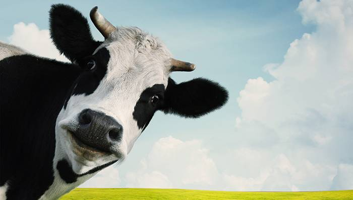 COW2-small