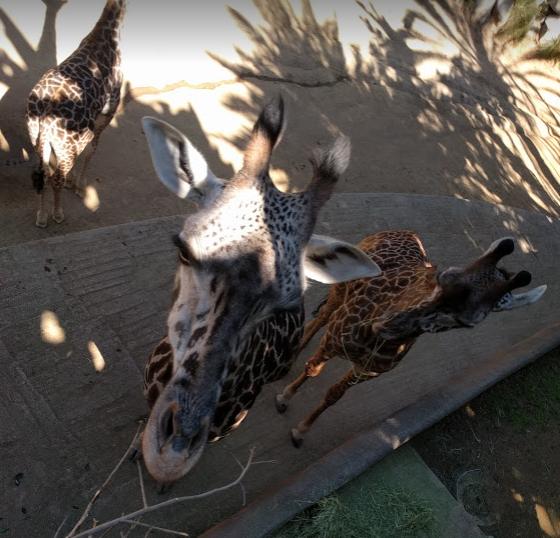 长颈鹿的身高优势让他们可以轻松的自拍合照
