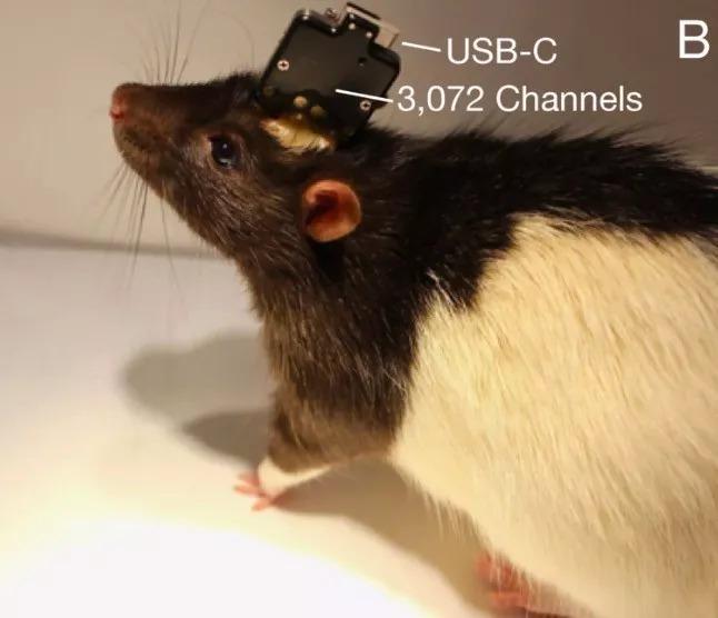 Neuralink 提供的图片显示一只实验鼠的大脑被安装了 BCI 装置