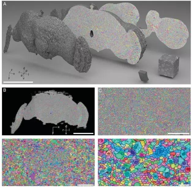 研究人员使用了数千个云TPU,并应用Flood-Filling Network (FFN),以便自动跟踪果蝇大脑中的每个神经元。