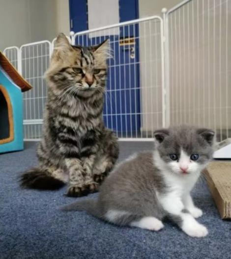 (左:代孕母猫;右:克隆大蒜。希诺谷供图)