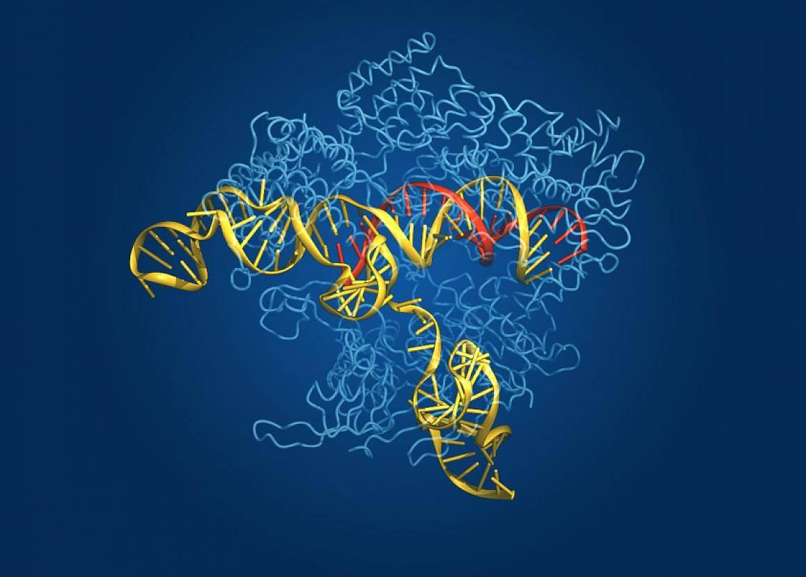 CRISPR/Cas9 技术图示:蓝色是 Cas9 核酸酶,红色是指导 RNA,黄色是目标基因组